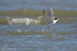 Common Tern - Dive Recovery
