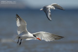 Immature Caspian Tern in Flight with Company