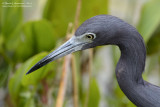 Little Blue Heron Portrait
