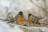 Robins - Waiting for Spring