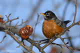 Robin with Frozen Lunch