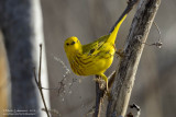 Yellow Warbler with Free Lunch