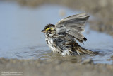 Savannah Sparrow - Bath Time
