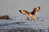 Willet - Early Morning Landing