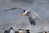 Royal Tern In Flight