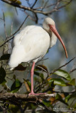 (Sleepy) White Ibis