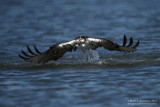 Osprey - Dive Recovery (but no fish)