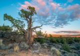 ancient juniper sunset