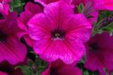Petunia Purple Wave