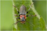 zwarte Soldaatje - Cantharis pellucida