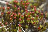 ruig Haarmos - Polytrichum piliferum