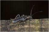 zwart Soldaatje - Cantharis obscura
