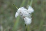 Veenpluis - Eriophorum angustifolium