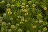 echt Zandhaarmos - Polytrichum juniperinum