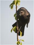 zwarte Kraai - Corvus corone
