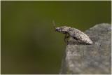 muisgrijze Kniptor - Agrypnus murinus