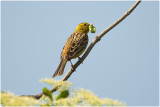 GALLERY Geelgors - Yellowhammer