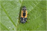 larve van lhb