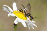 Graafwespensoort - Crabronidae spec