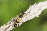geringelde Smalbok - Leptura maculata
