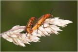 kleine rode Weekschildkever - Rhagonycha fulva