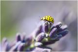 Citroen Lieveheersbeestje - Psyllobora vigintiduopunctata