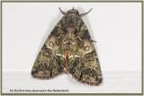 GALLERY_van_Uilvlinders - Noctuidae