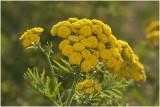 Boerenwormkruid - Tanacetum vulgare,