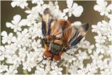 Wantssluipvlieg - Phasia hemiptera