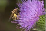 Breedbandgroefbij - Halictus scabiosae