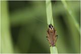 Boskakkerlak - Ectobius sylvestris - mannetje