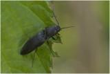 zwarte Kniptor - Hemicrepidius hirtus