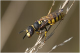 Bijenwolf - Philanthus triangulum