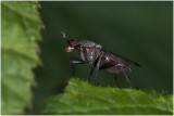 Slakkendoder - Coremacera marginata