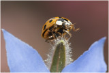 veelkleurig Aziatisch Lieveheersbeestje - Harmonia axyridis