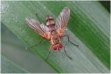 Sluipvliegensoort - Dexiosoma caninum