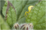 Krabspin - Thomisidae spec