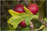 gallen van de Eikengalwesp - Cynips quercusfolii
