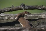 Hermelijn - Mustela erminea