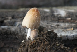 gewone Glimmerinktzwam - Coprinellus truncorum