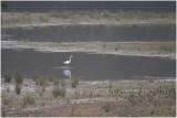 grote Zilverreiger - Ardea alba
