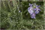 Rozemarijn - Rosmarinus officinalis