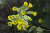 Gulden Sleutelbloem - Primula veris