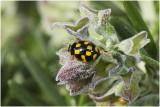 veertienstippelig Lieveheersbeestje - Propylea quatuordecimpunctata