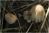 gewone Glimmerinktzwam - Coprinellus truncorum