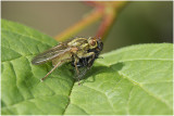 Strontvlieg - Scathophaga stercoraria