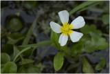 fijne Waterranonkel - Ranunculus aquatilis