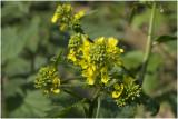 gewoon Barbarakruid - Barbarea vulgaris