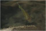 Zonnebaarsje - Lepomis gibbosus