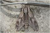 Dennenpijlstaart  - Sphinx pinastri